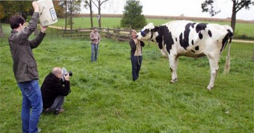 Worlds-tallest-cow