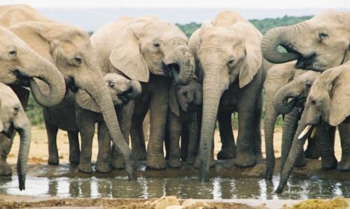 Elephants-drinking-at-waterhole-in-Addo-Park-Eastern-Cape-South-Africa-WL