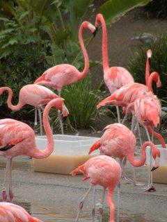 Flamingosm