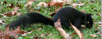 Black_squirrel_stretched_out_horizontial