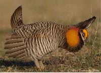 Prairiechicken