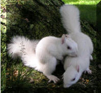 White_squirrels_2_from_olney_city_site_3